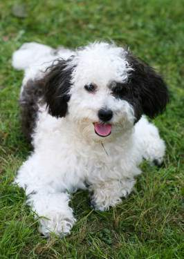 Maltipoo dog female