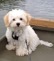 Maltipo dog near water
