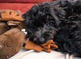 black Maltipoo with toy