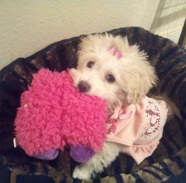 Maltipoo puppy with toy in her mouth