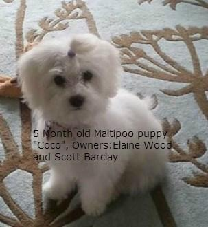 Maltipoo 5 months of age