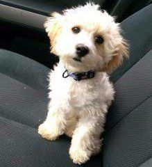 Maltipoo 7 months old