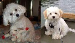 Maltipoo and Maltese side by side