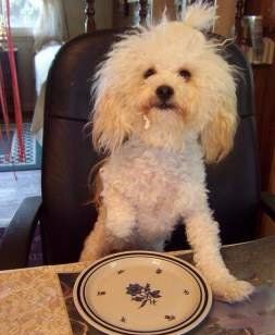 Maltipoo at table, shaved closed