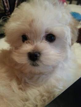 Maltipoo black eyes