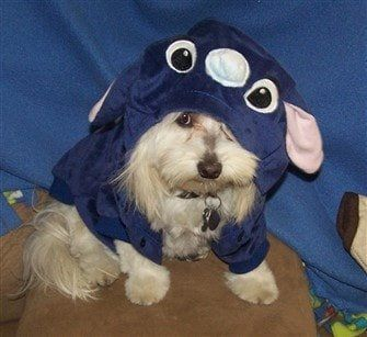 Maltipoo dog in Halloween costume