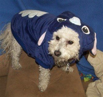 Maltipoo dog in Halloween Stitch costume