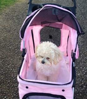 Maltipoo dog in a pink stroller