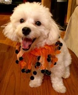 maltipoo dog on halloween