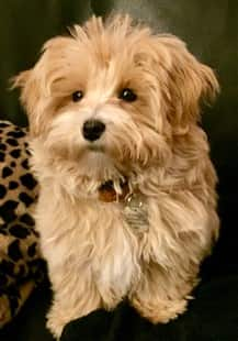 maltipoo-dog-posing-for-camera