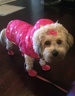 Maltipoo dressed for cold weather
