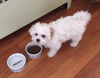 Maltipoo eating food
