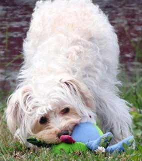 Maltipoo for blog