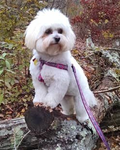 Maltipoo in forest