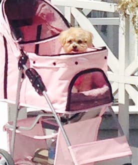 Maltipoo in pet stroller