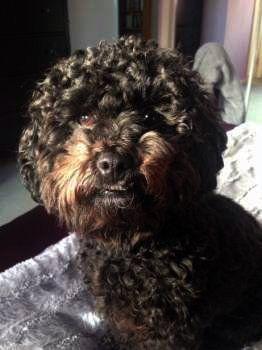 Maltipoo looks like black Poodle