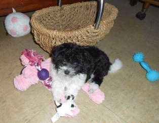 Maltipoo with lots of toys