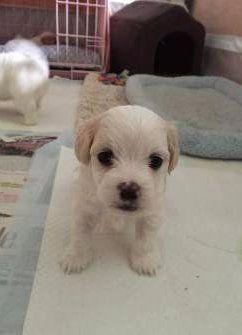 Maltipoo newborn puppy