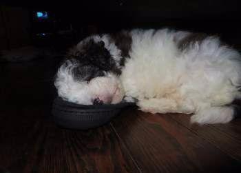 Maltipoo sleeping on a shoe