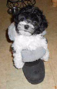 Maltipoo on slipper