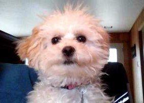 Maltipoo puppy cream and apricot black nose