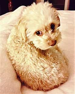 maltipoo-puppy-curled-up