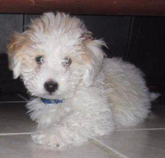 Maltipoo puppy healthy