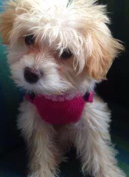 Maltipoo puppy small white and tan