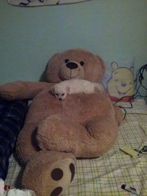 Maltipoo sleeping on huge teddy bear