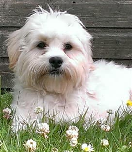 Maltipoo in flowers