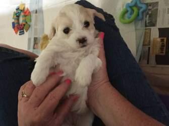 newborn Maltipoo pup