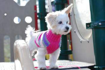 Maltipoo no tear stains