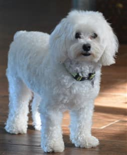 pretty, white Maltipoo dog