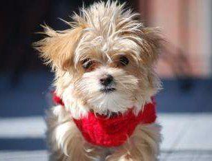 really cute Maltipoo dog