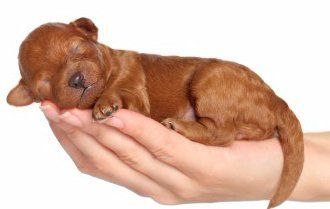 red Maltipoo newborn puppy