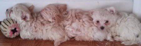 row of Maltepoo puppies