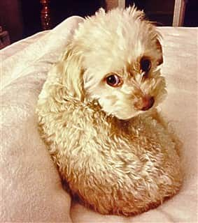 small Maltipoo puppy curled up, tan color