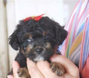 small Maltipoo puppy