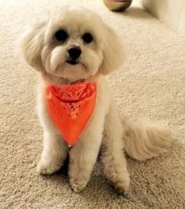 cute maltipoo haircuts to download cute maltipoo haircuts just right
