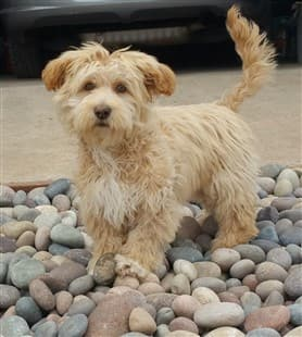 Tan Maltipoo outside on rocks