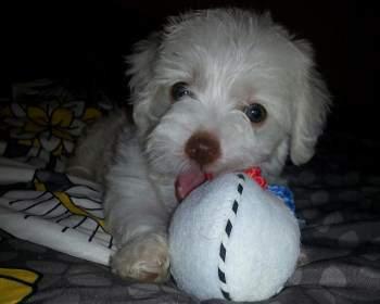 teething Maltipoo puppy