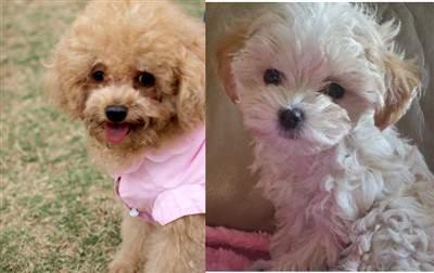 toy Poodle vs Maltipoo