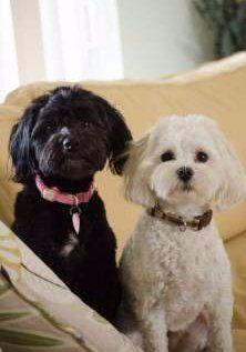 Two Maltipoo dogs on sofa