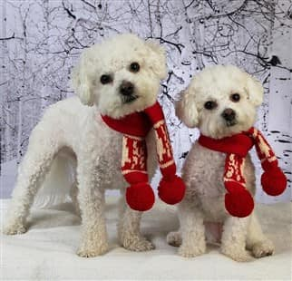 two Maltipoo dogs in the winter time
