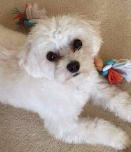 white Maltipoo with black eyes