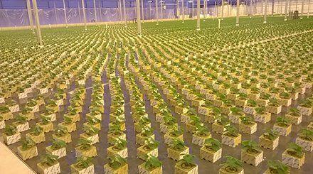 Plants growing inside the glass house farm