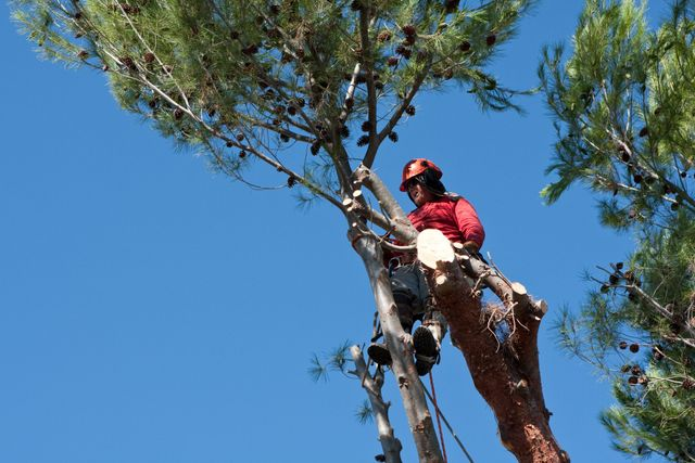 Man pruning a tree