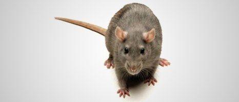 single rat