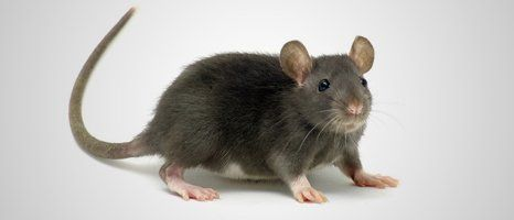 rat at home
