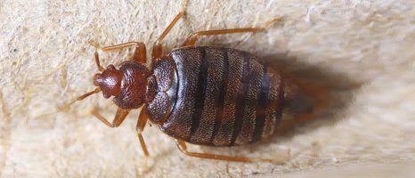 bedbug at home